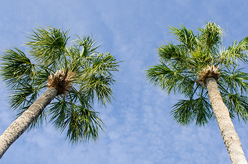 Cabbage Palm 3