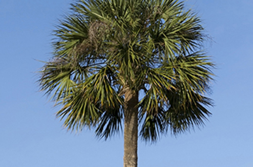 Cabbage Palm 1
