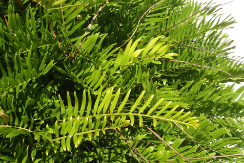 Coontie Palm