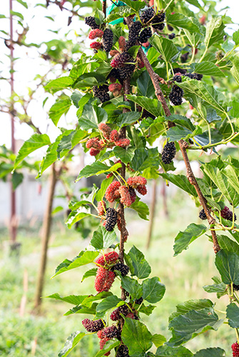 Red Mulberry 2